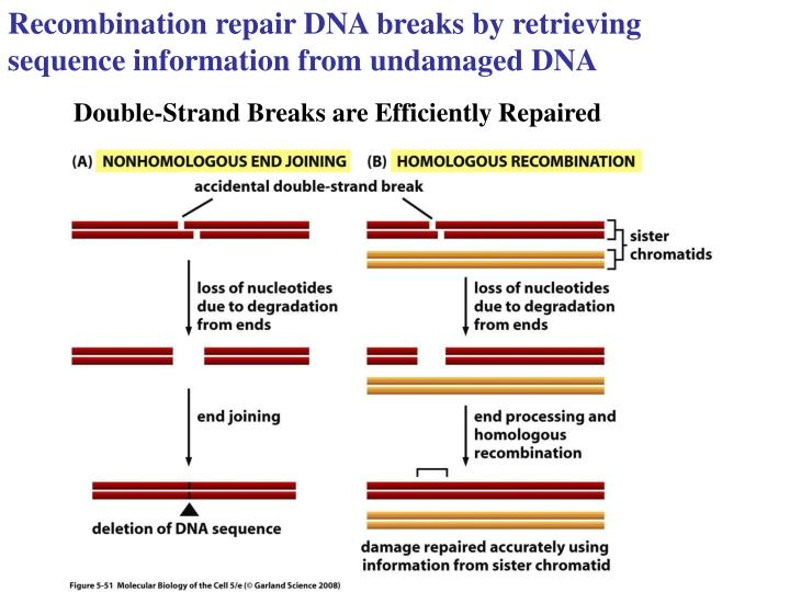 Recombination repair DNA breaks by retrieving sequence information from undamaged DNA