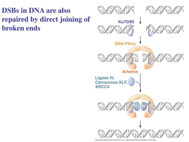 DSBs in DNA are also repaired by direct joining of broken ends