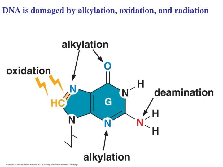 DNA is damaged by alkylation, oxidation, and radiation