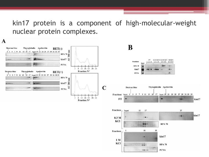 kin17 protein is a component of high-molecular-weight nuclear protein complexes.