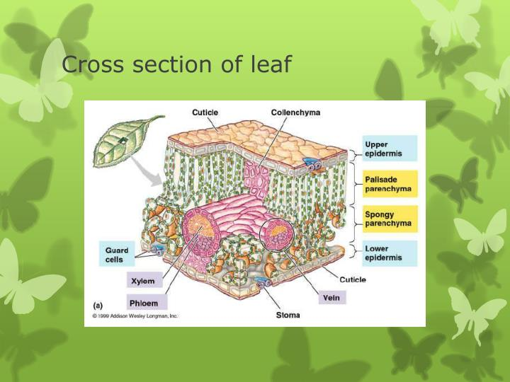 Cross section of leaf
