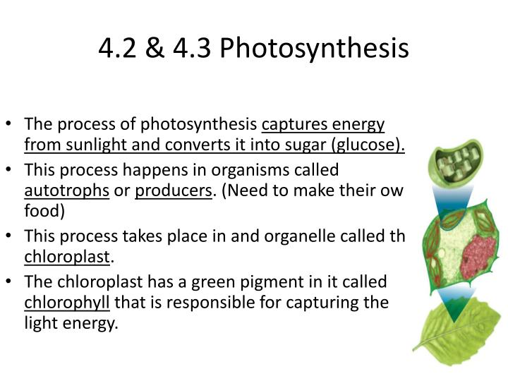 4.2 & 4.3 Photosynthesis