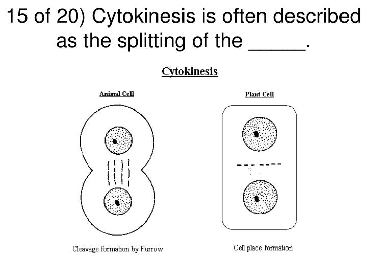 15 of 20) Cytokinesis is often described as the splitting of the _____.