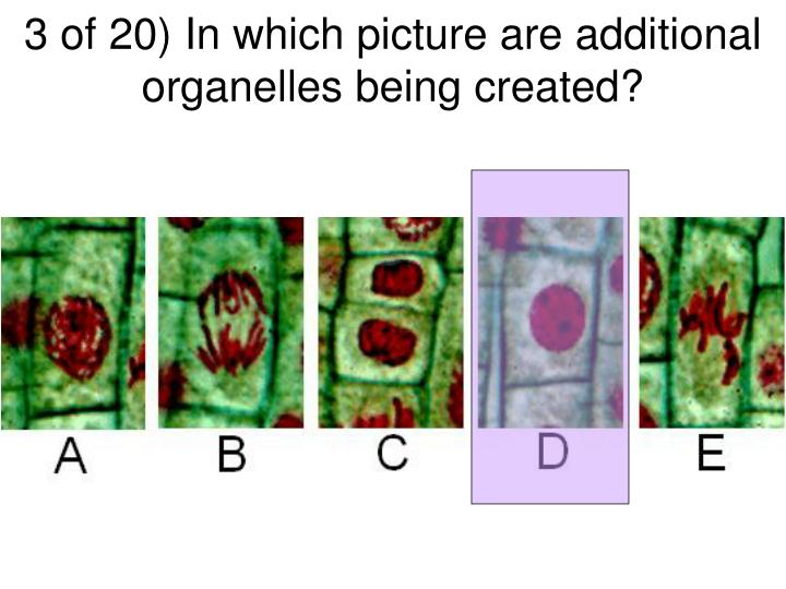 3 of 20) In which picture are additional organelles being created?