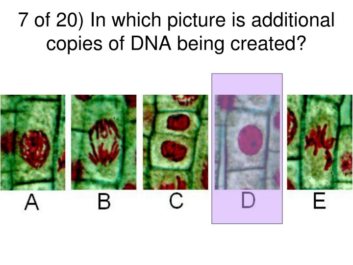 7 of 20) In which picture is additional copies of DNA being created?