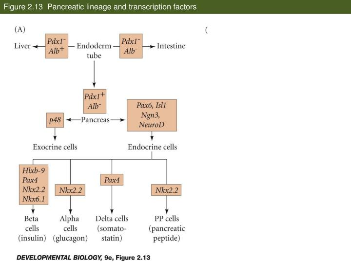 Figure 2.13  Pancreatic lineage and transcription factors