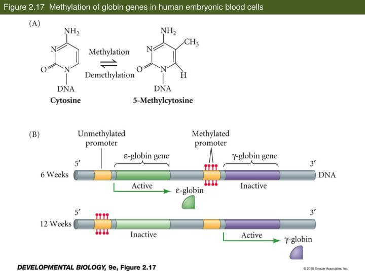 Figure 2.17  Methylation of globin genes in human embryonic blood cells