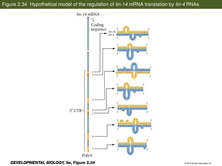 Figure 2.34  Hypothetical model of the regulation of