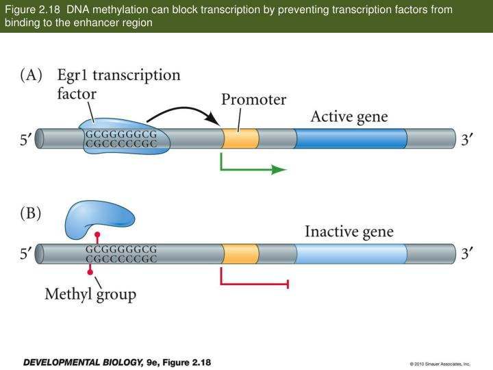 Figure 2.18  DNA methylation can block transcription by preventing transcription factors from binding to the enhancer region