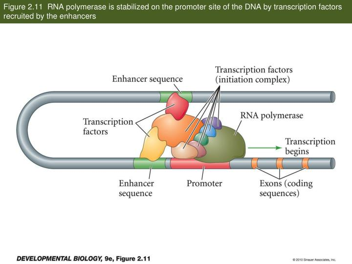 Figure 2.11  RNA polymerase is stabilized on the promoter site of the DNA by transcription factors r...