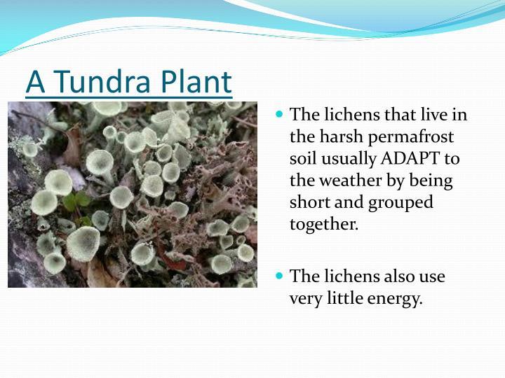 A Tundra Plant