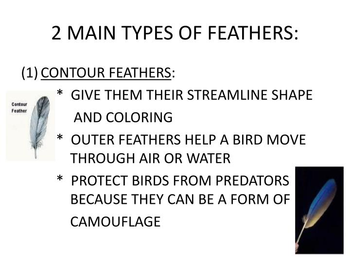 2 main types of feathers