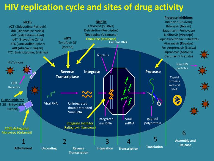 HIV replication cycle and sites of drug activity