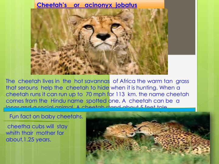 Cheetah's    or