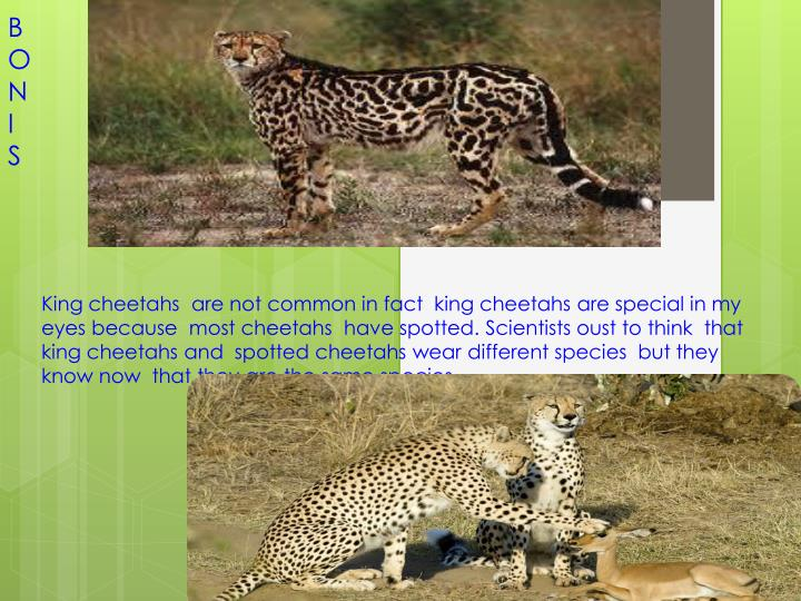 Cheetah s or acinonyx jobatus