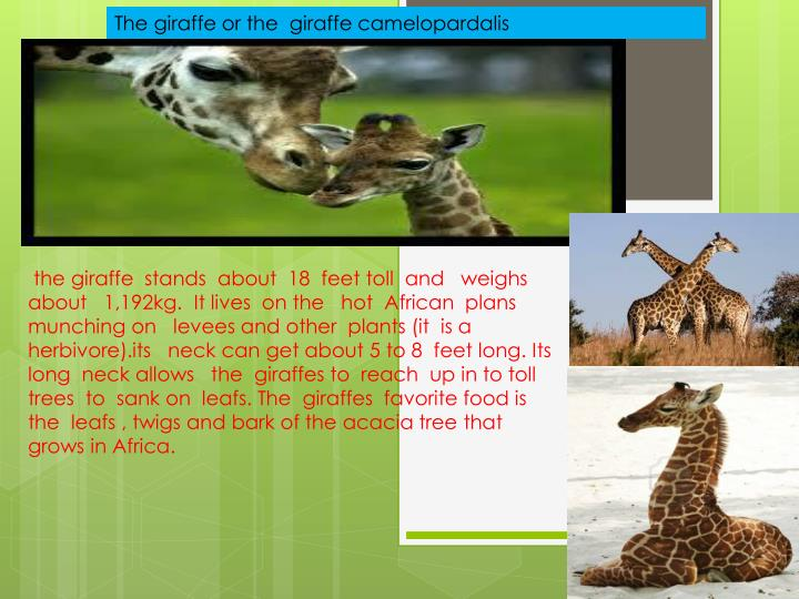 The giraffe or the  giraffe camelopardalis