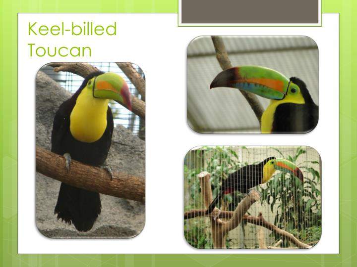 Keel billed toucan1