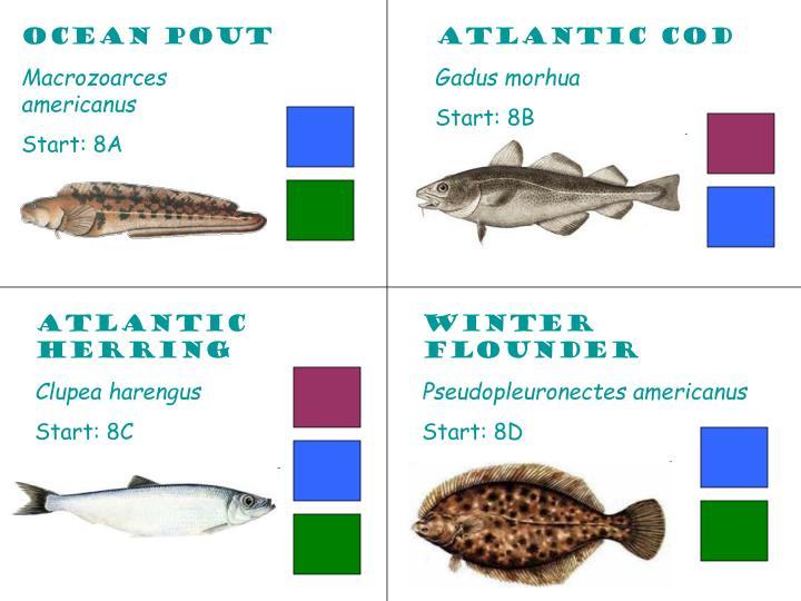 Ocean Pout