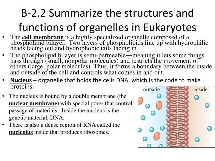 B-2.2 Summarize the structures and functions of organelles in Eukaryotes