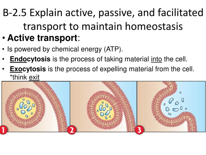 B-2.5 Explain active, passive, and facilitated transport to maintain homeostasis