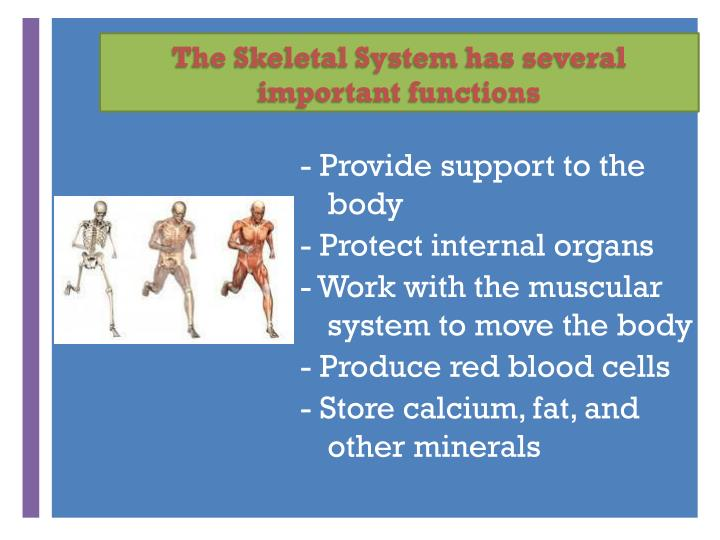 The Skeletal System has several