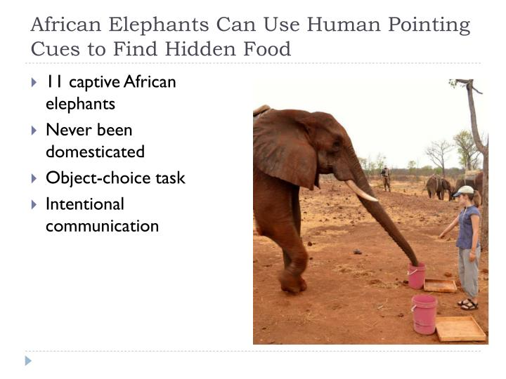 African elephants can use human pointing cues to find hidden food