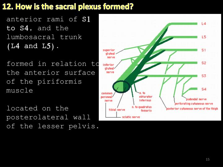 12. How is the sacral plexus formed?