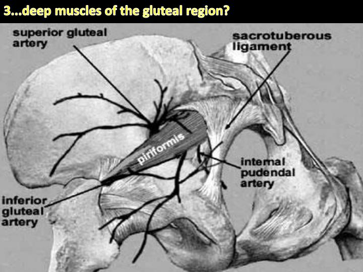 3...deep muscles of the gluteal region?