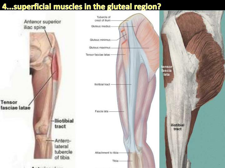 4...superficial muscles in the gluteal region?