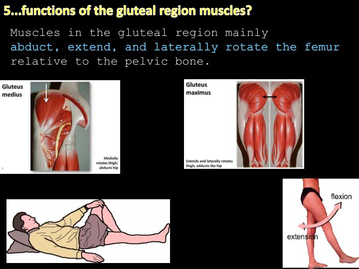 5...functions of the gluteal region muscles?