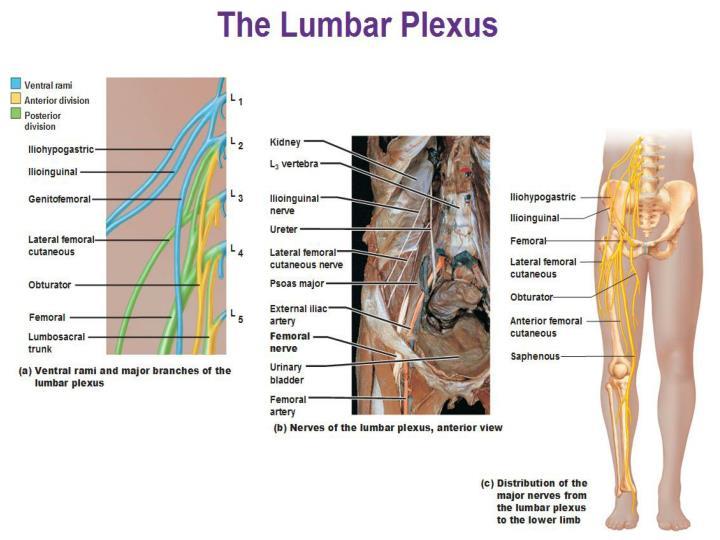 3. Nerves of the lumbar plexus?