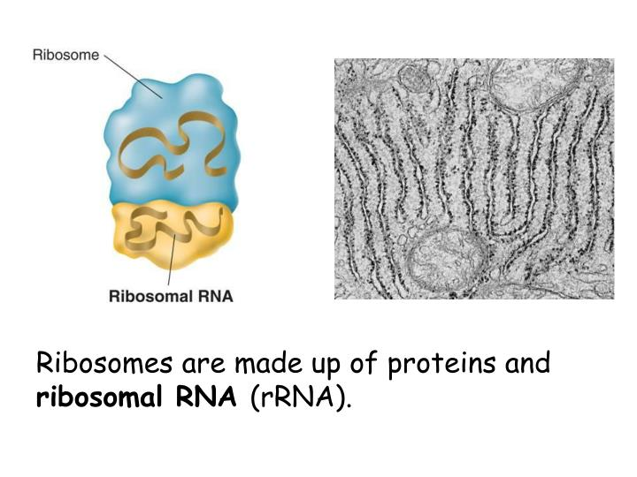 Ribosomes are made up of proteins and