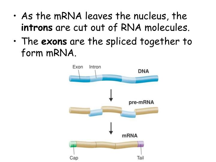 As the mRNA leaves the nucleus, the