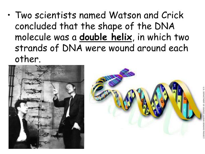 Two scientists named Watson and Crick concluded that the shape of the DNA molecule was a