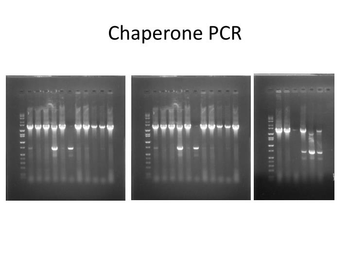 Chaperone PCR