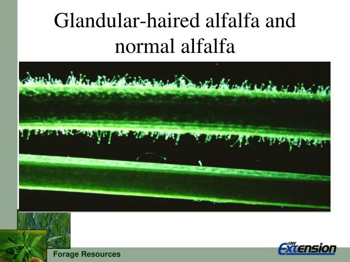 Glandular-haired alfalfa and normal alfalfa