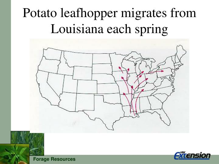 Potato leafhopper migrates from Louisiana each spring