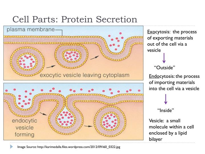 Cell Parts: Protein Secretion