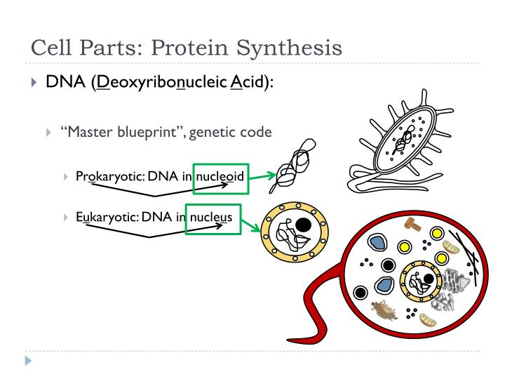 Cell Parts: Protein Synthesis