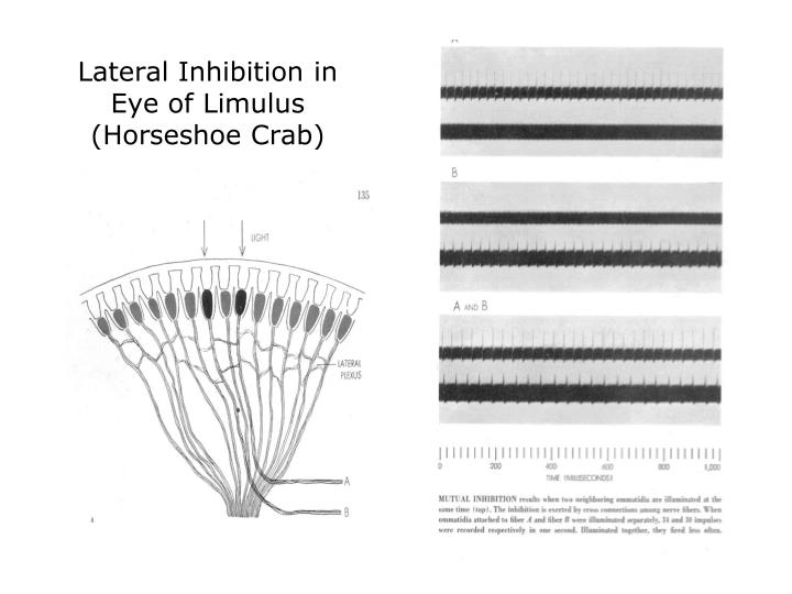 Lateral Inhibition in Eye of Limulus