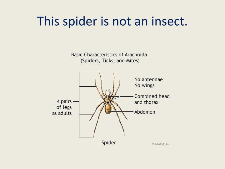 This spider is not an insect.