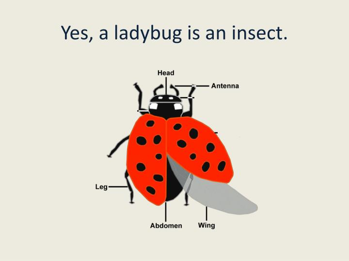 Yes, a ladybug is an insect.