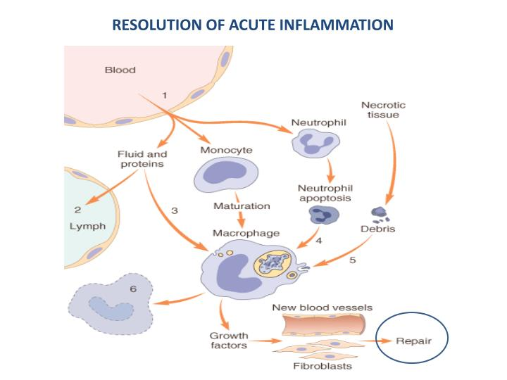 RESOLUTION OF ACUTE INFLAMMATION