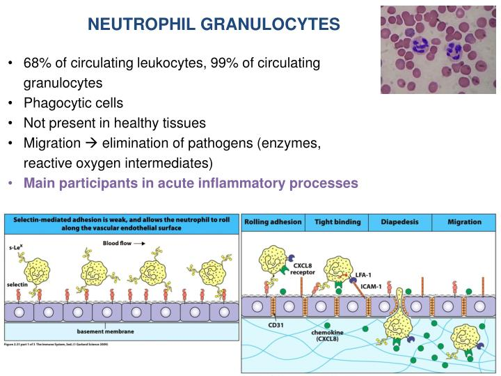 NEUTROPHIL GRANULOCYTES