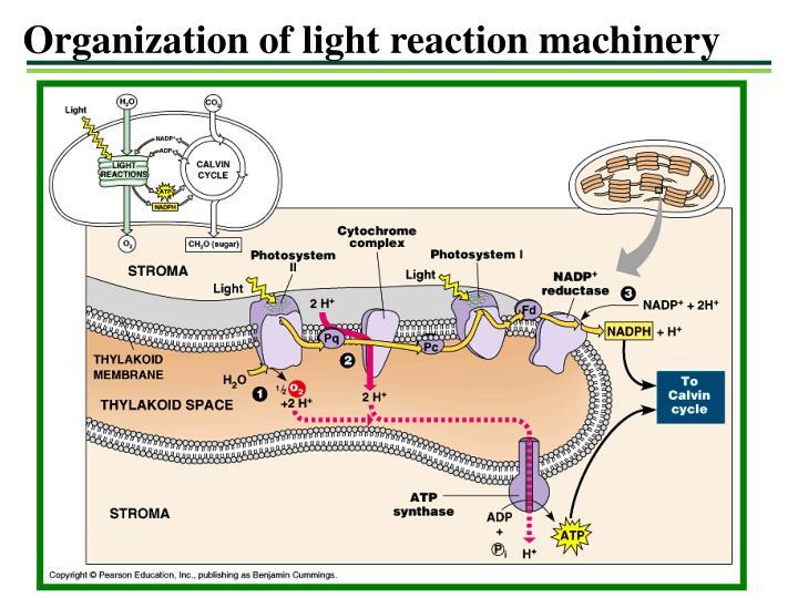 Organization of light reaction machinery