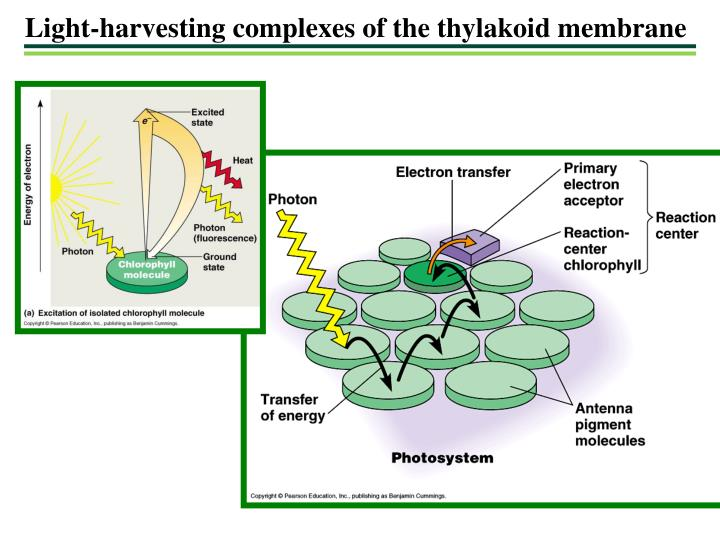 Light-harvesting complexes of the thylakoid membrane