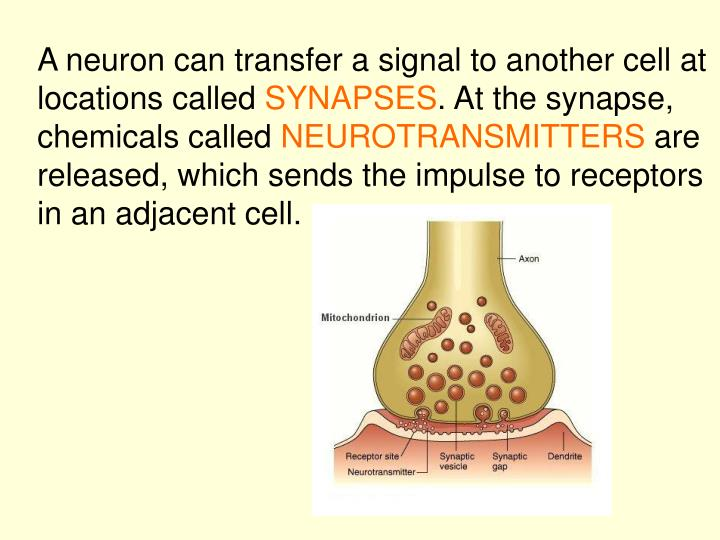 A neuron can transfer a signal to another cell at locations called