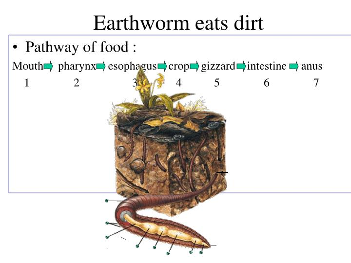 Earthworm eats dirt
