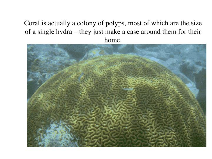 Coral is actually a colony of polyps, most of which are the size of a single hydra – they just make a case around them for their home.