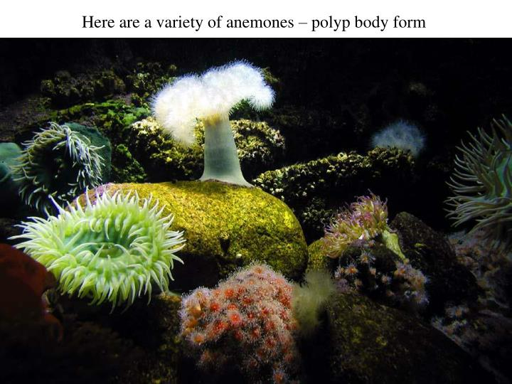 Here are a variety of anemones – polyp body form
